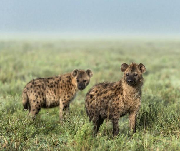 hyena op zoek weg in serengeti national park - hyena stockfoto's en -beelden