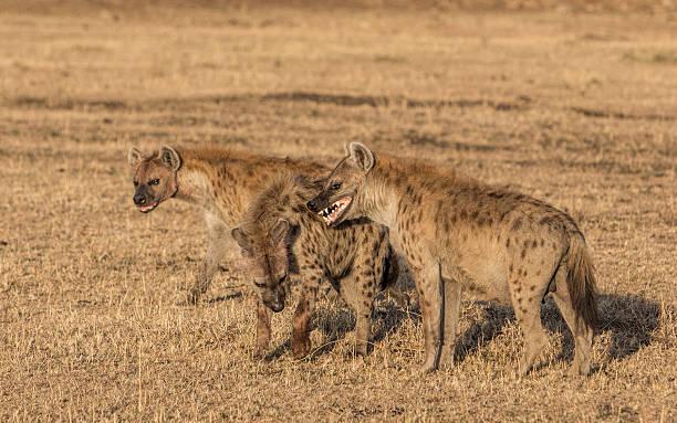 hyenas on the dry savannah, masai mara, kenya, east africa - hyena stockfoto's en -beelden