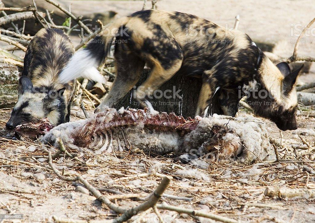 Hyenas royalty-free stock photo