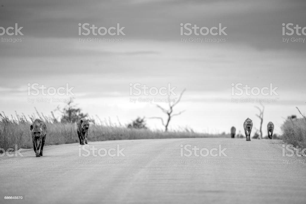 Hyenas Walking on a Road royalty-free stock photo
