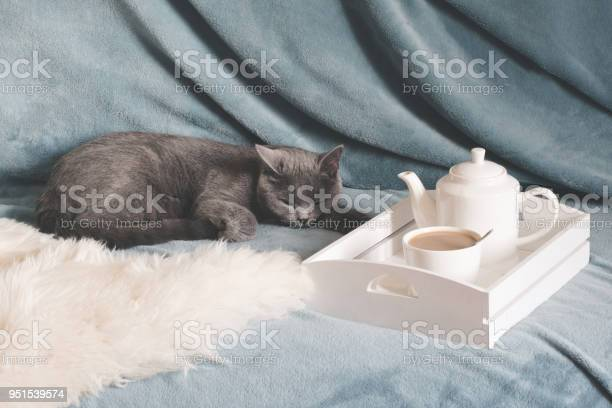 Hygge and cozy concept british cute cat resting on cozy blue pled in picture id951539574?b=1&k=6&m=951539574&s=612x612&h=9rspv5rmdfgtz2jlel5gbrludpathttqjcvxwng02gq=