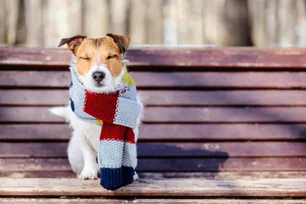 hygge concept with happy dog wearing cozy warm scarf - hygge imagens e fotografias de stock