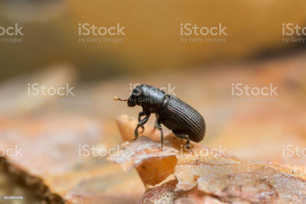 Hylastes bark beetle on wood stock photo