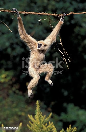 WHITE-HANDED GIBBON hylobates lar, ADULT HANGING FROM LIANA
