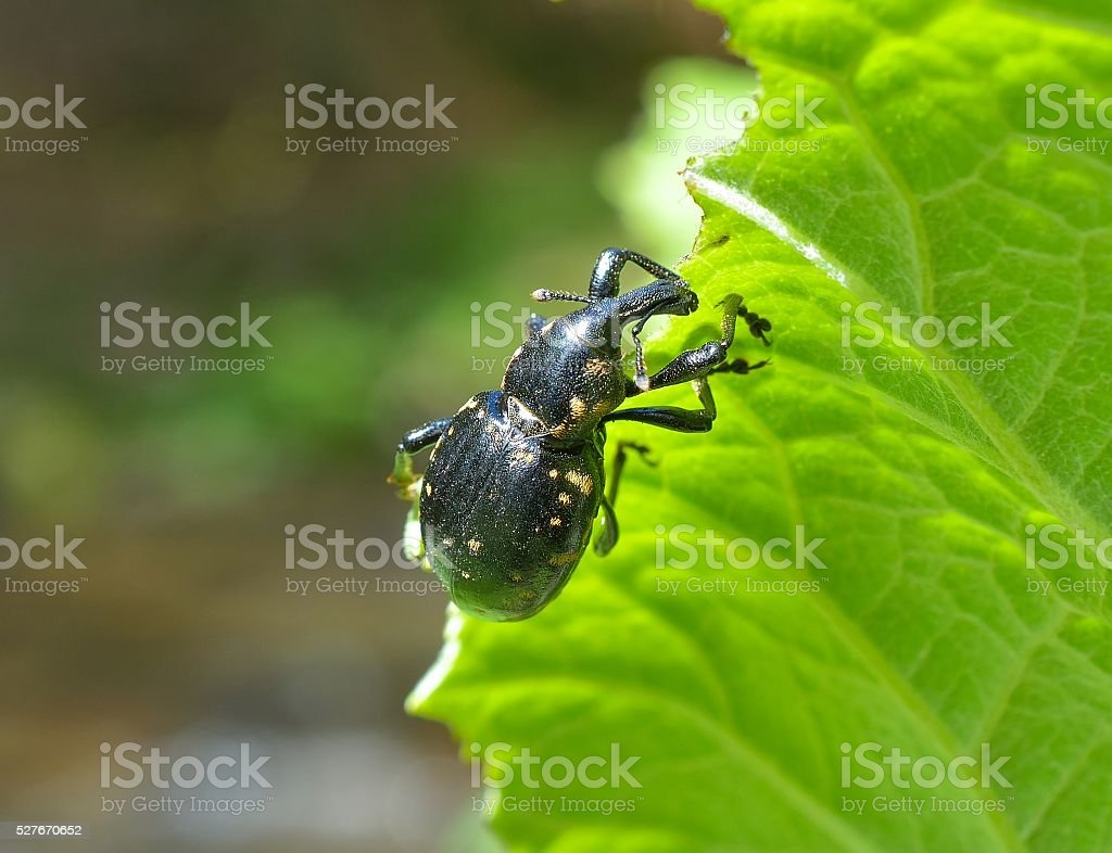Hylobius abietis or the large pine weevil stock photo