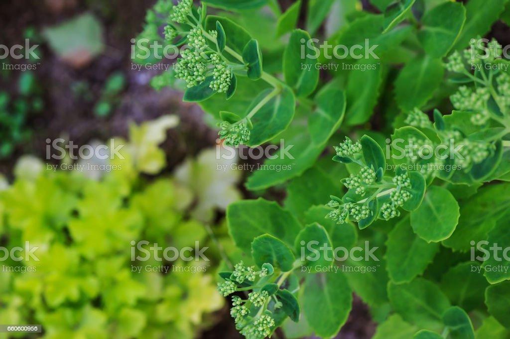 Hylotelephium spectabile (Sedum) planted in summer garden royalty-free stock photo