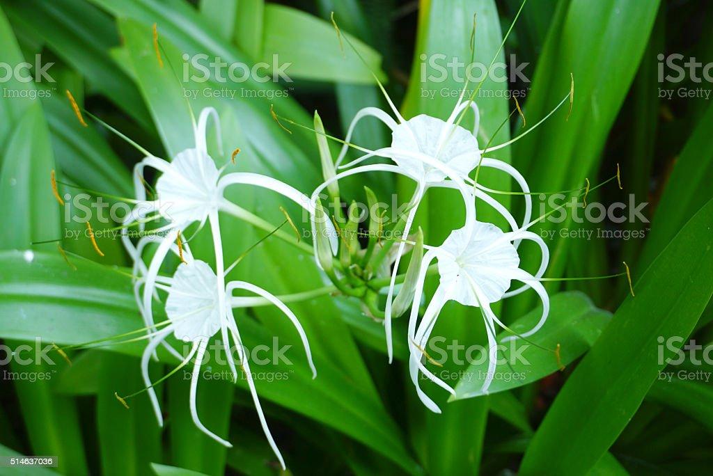 Hymenocallis flower stock photo