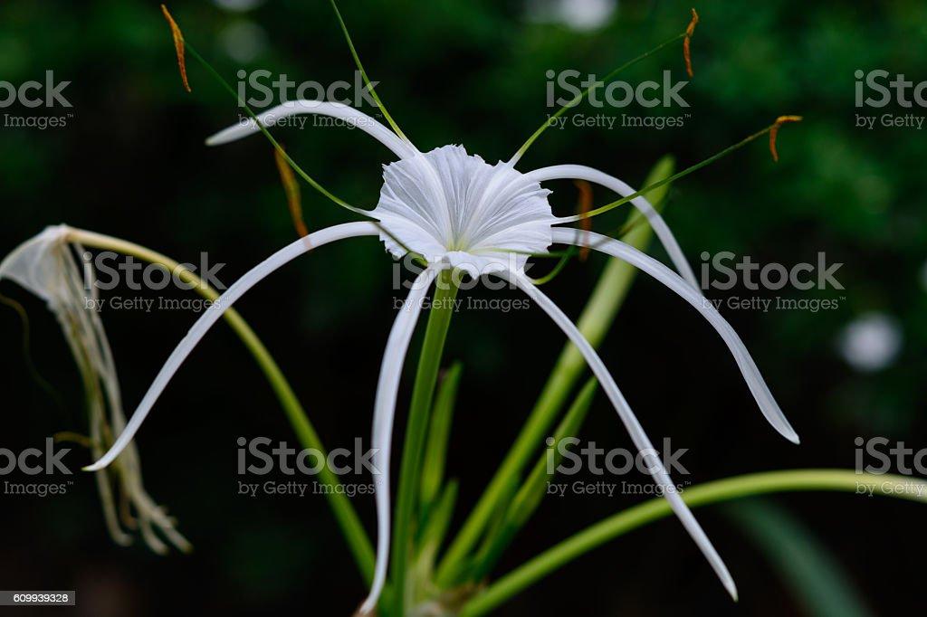 Hymenocallis littoralis herb stock photo