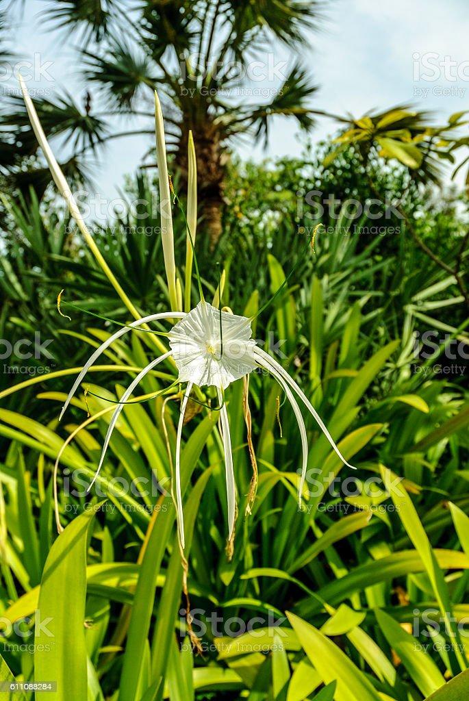 hymenocallis stock photo