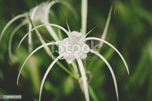 hymenocallis speciosa white amaryllis family tropical flower in the rainforest of malaysia.