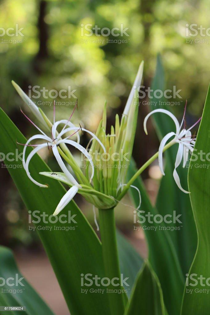 Hymenocallis tubiflora stock photo