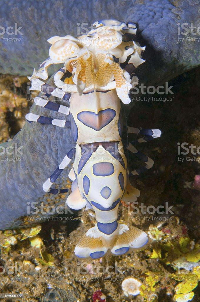 Hymenocera royalty-free stock photo