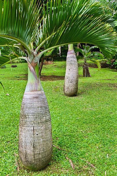 hyophorbe lagenicaulis, flasche palm - st. vincent und die grenadinen stock-fotos und bilder