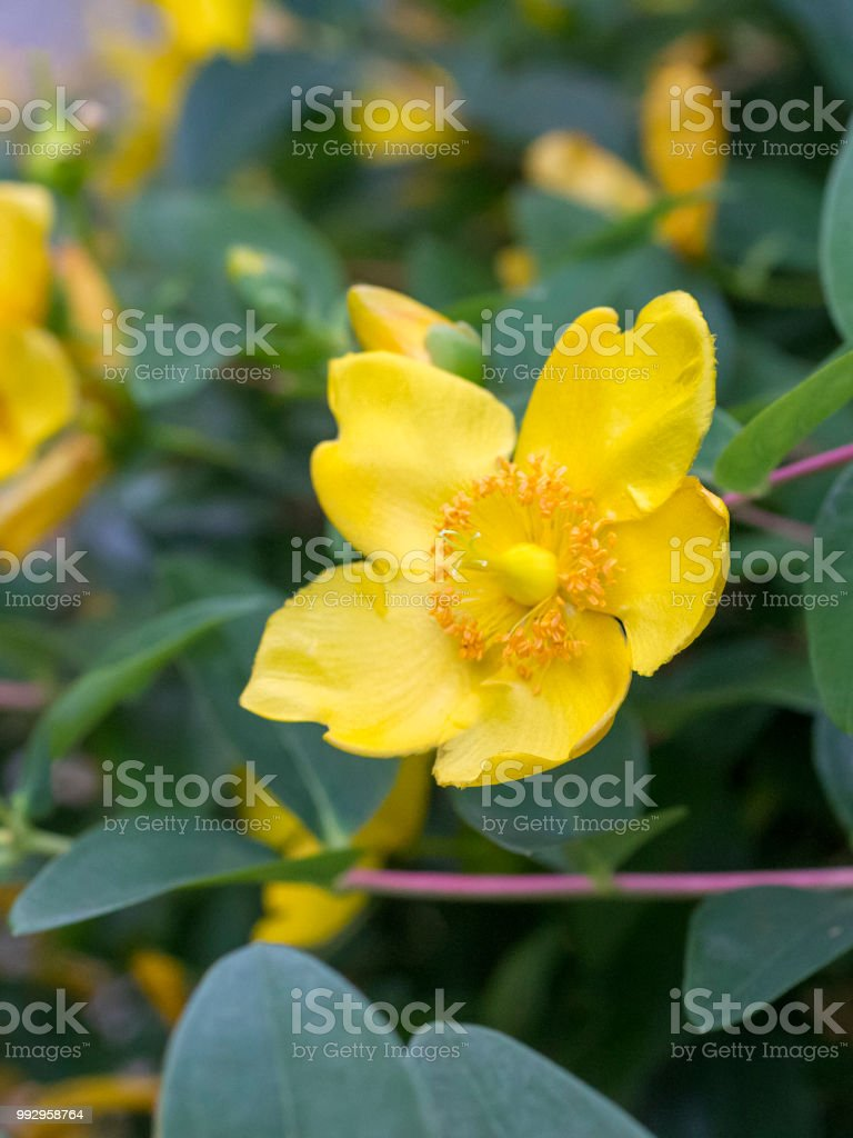 Hypericum bush stock photo