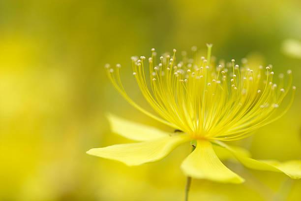 Hypericum chinense stock photo