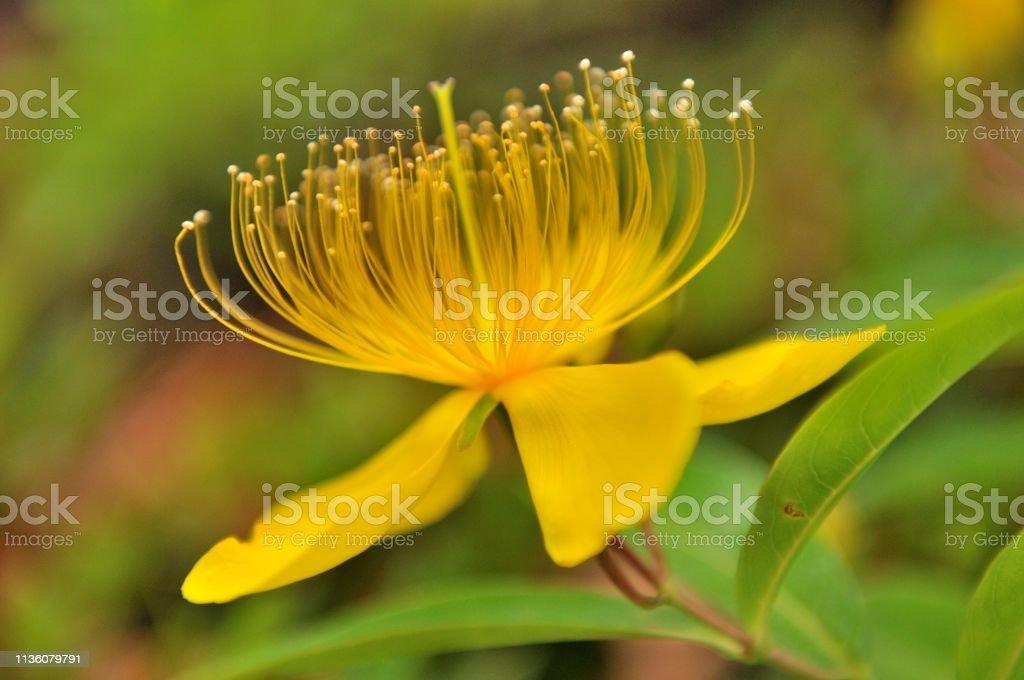 Hypericum chinense /St John's Wort Flower - Lizenzfrei Baumblüte Stock-Foto