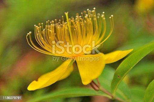 istock Hypericum chinense/St John's Word Flower 1136079791
