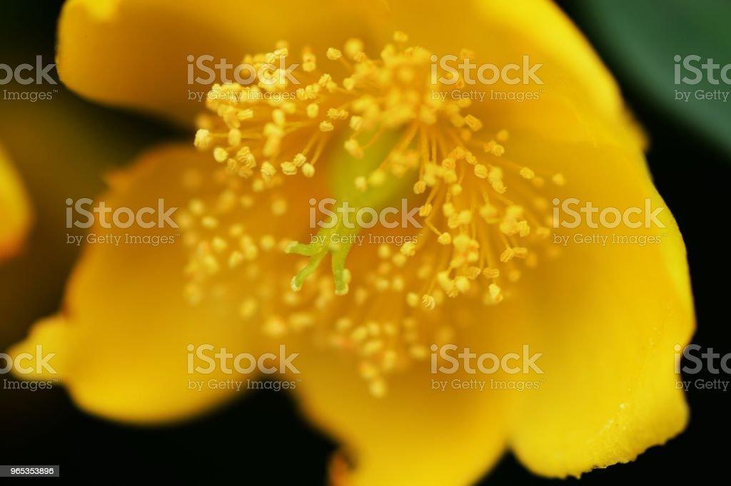 Hypericum hidcote zbiór zdjęć royalty-free