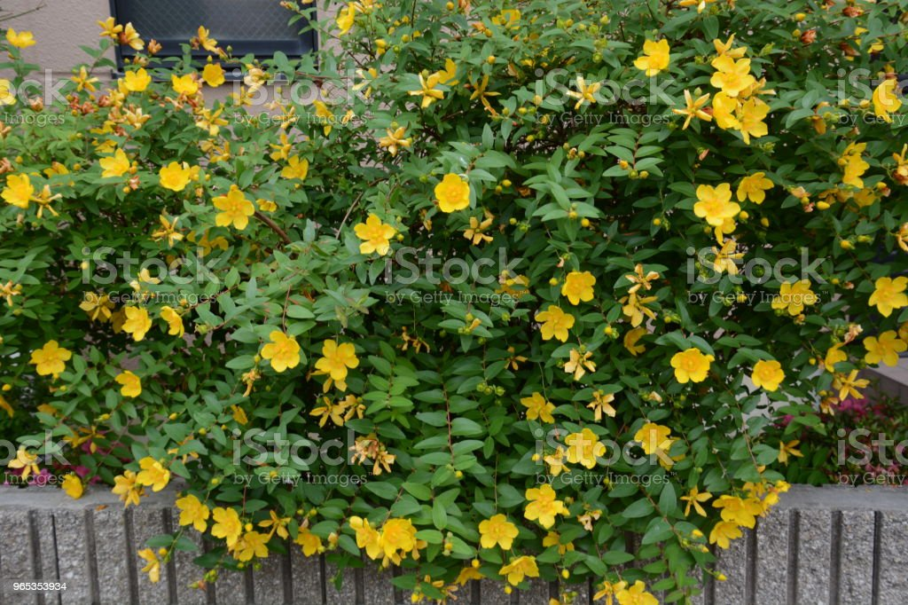 Hypericum hidcote royalty-free stock photo