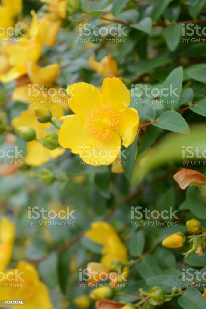 Hypericum hidcote royalty-free stock photo