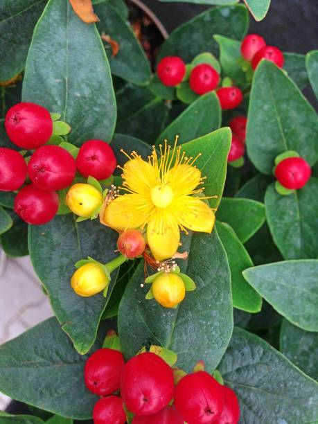 Hypericum Miracle Attraction flowers