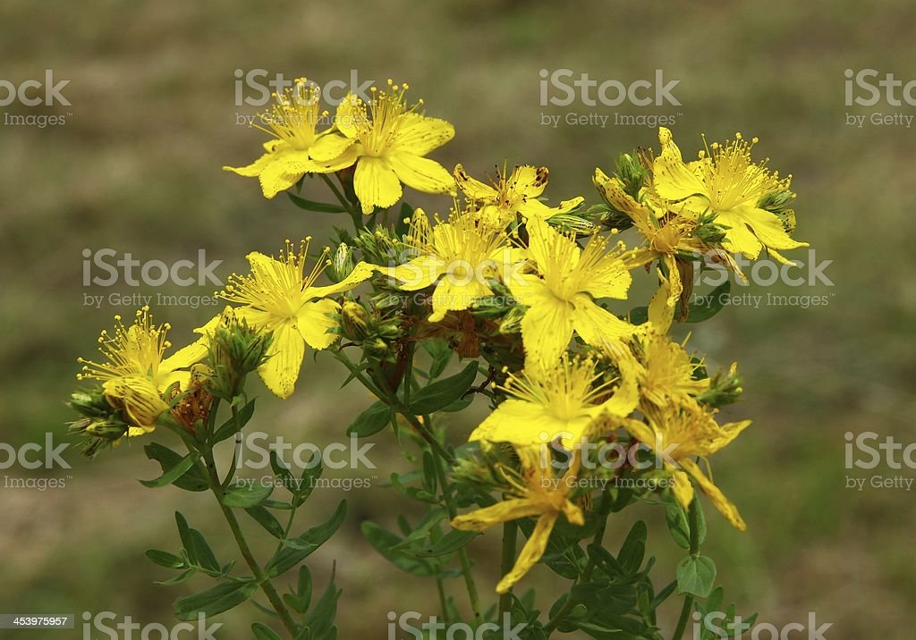 Hypericum perforatum herb with yellow flowers royalty-free stock photo