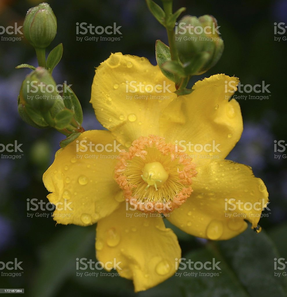 hypericum royalty-free stock photo