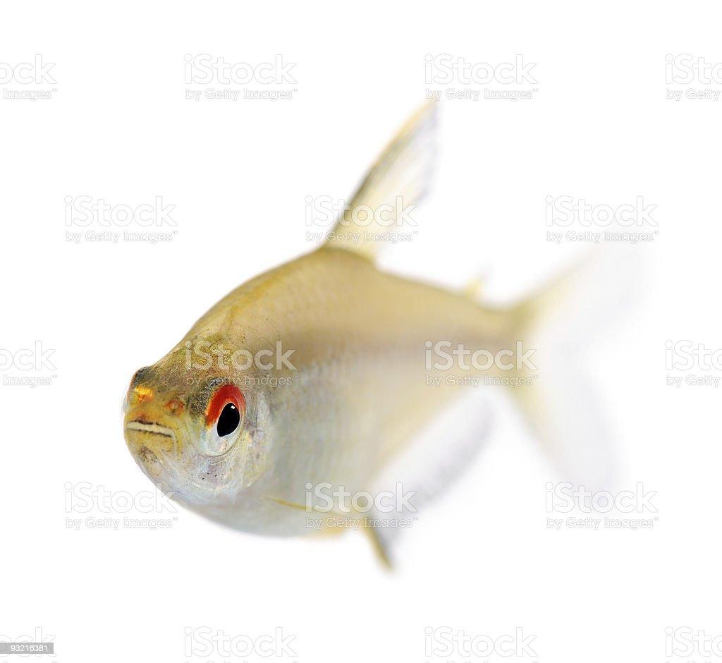 Hyphessobrycon bentosi fish royalty-free stock photo