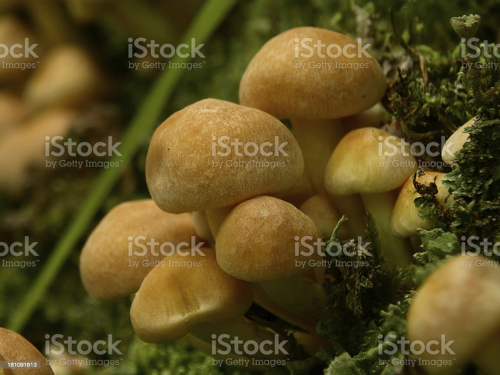 Hypholoma Capnoides 2 stock photo
