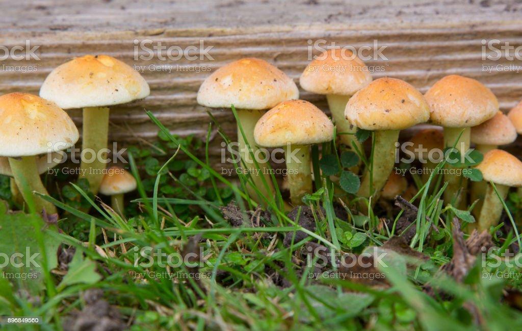 Hypholoma Fasiculare Fungi stock photo