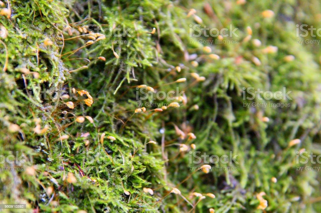 Hypnum moss or cypress-leaved plaitmoss or Hypnum cupressiforme close up stock photo