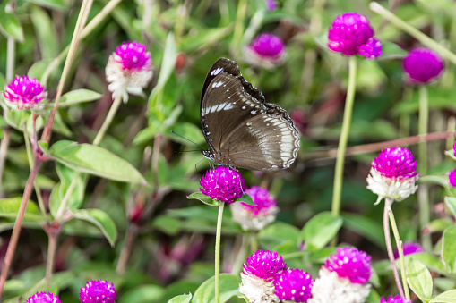 Hypolimnas bolina jacintha, Oriental Great Eggfly butterfly from Kerala India