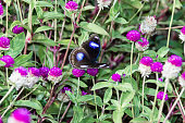 Hypolimnas bolina, the great eggfly, the blue moon butterfly from India, Kerala