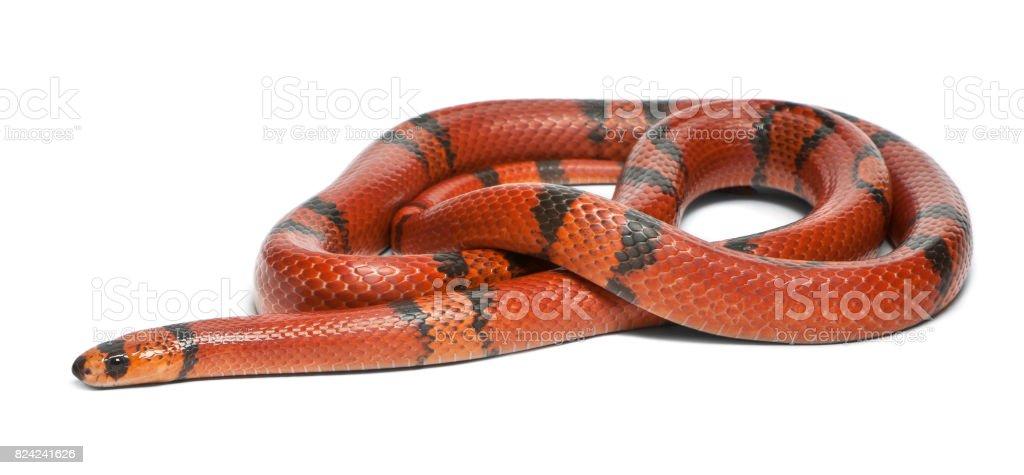 Hypomelanistic aberrant Honduran milk snake, Lampropeltis triangulum hondurensis, in front of white background stock photo