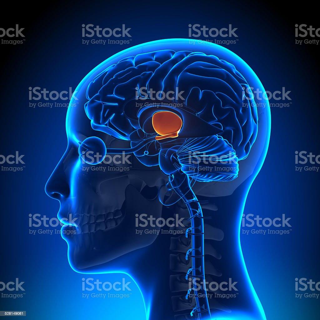 Hypothalamus - Female Brain Anatomy stock photo