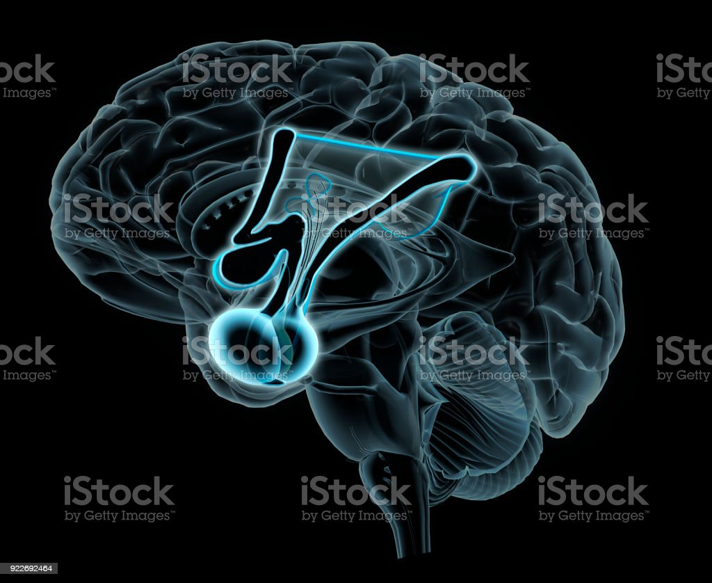 Hypothalamus in Brain Cross Section stock photo