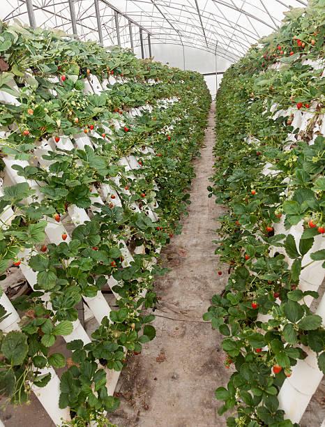 hyprophonic strawberries stock photo