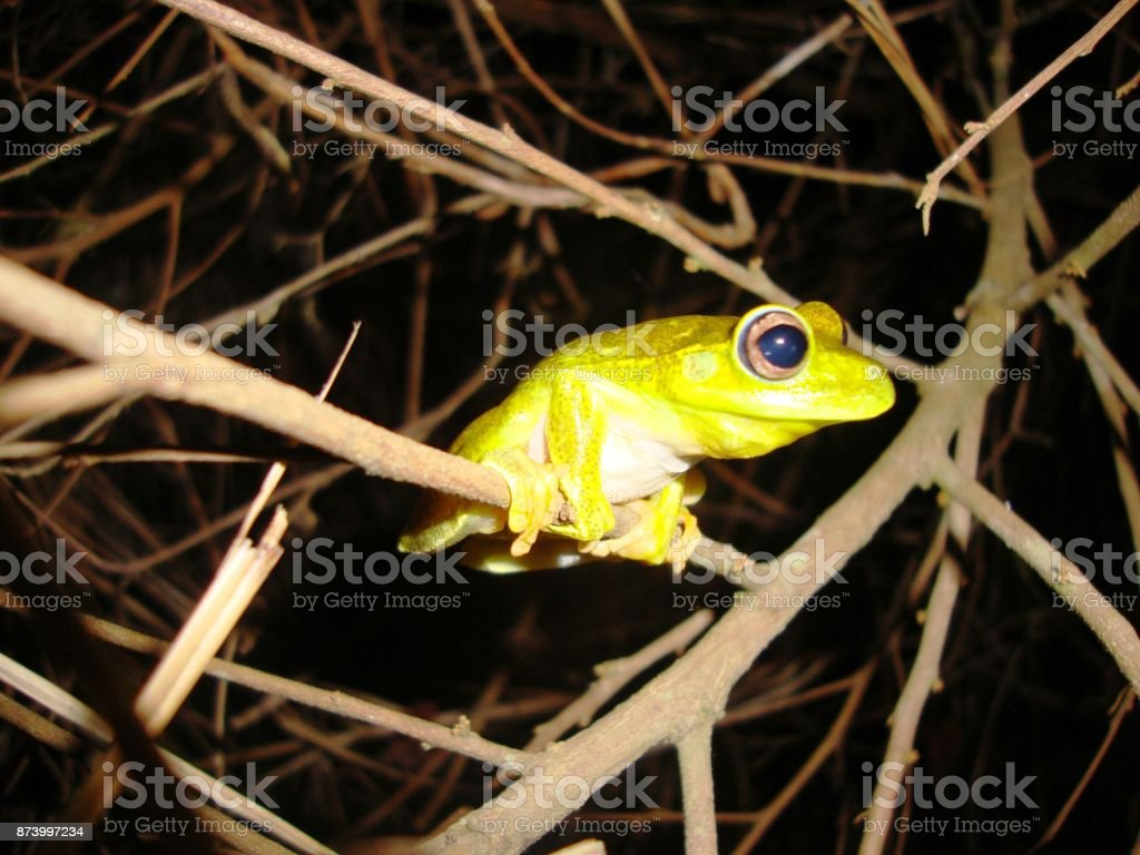 Hypsiboas albomarginatus stock photo