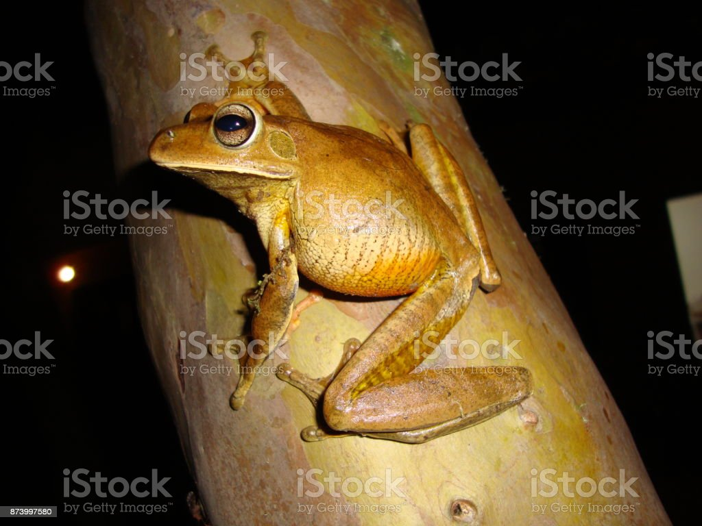 Hypsiboas faber stock photo