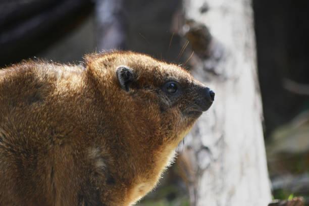 Hyrax Head stock photo
