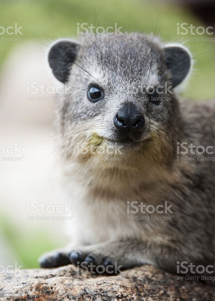 Hyrax royalty-free stock photo