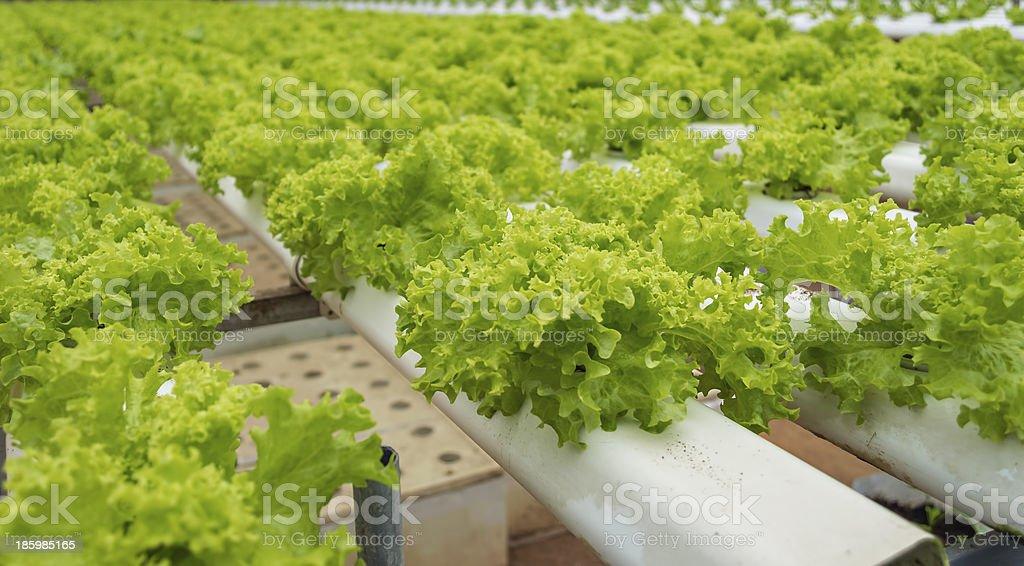 Hyroponic salad royalty-free stock photo