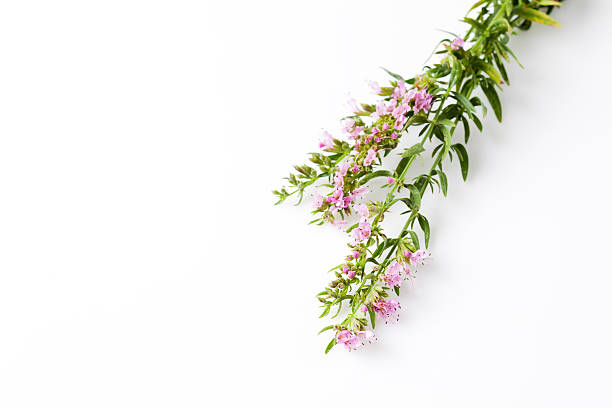 Ysop , Hyssopus officinalis, medical plant stock photo