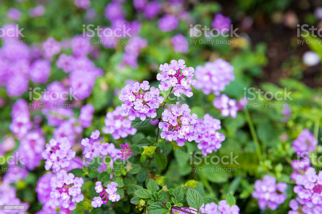 Iantana flower on blurred background stock photo