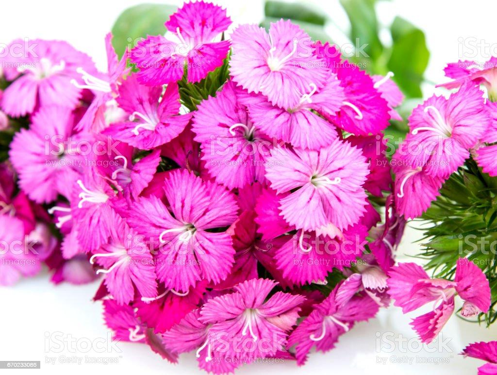 Ianthus Barbatus Pink Flowers Isolated On White Background Stock