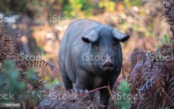 Iberia pigs in jabugos forest running wild autumn sierra de aracena picture id1193575497?b=1&k=6&m=1193575497&s=612x612&h=xjslxkme6t9boi2s8pnnc9d9s3sqgxzuiksm61ihcqq=