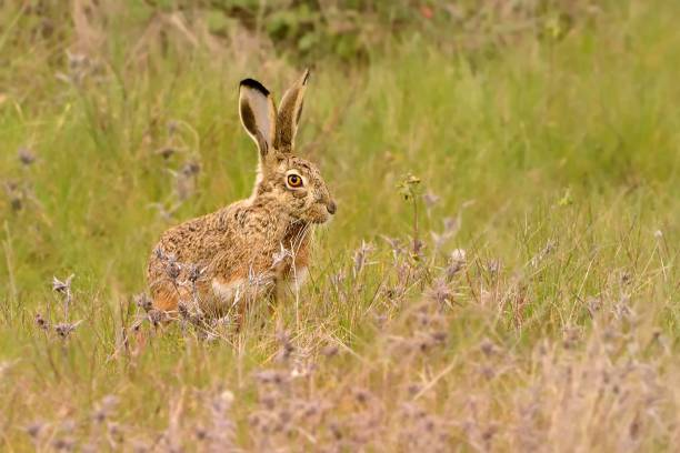 Iberian Hare - Lepus granatensis - The Granada hare, also known as the Iberian hare Iberian Hare - Lepus granatensis - The Granada hare, also known as the Iberian hare, is a hare species that can be found on the Iberian Peninsula and on the island of Majorca. iberian stock pictures, royalty-free photos & images