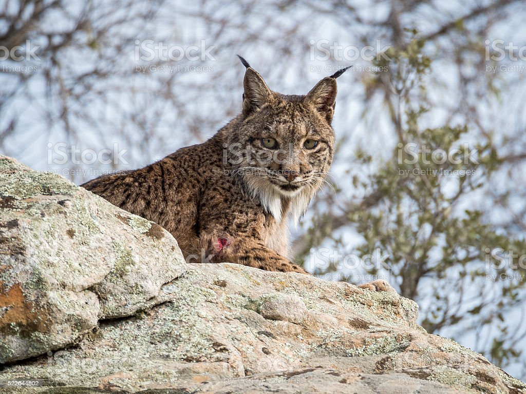 Iberian lynx ( Lynx pardinus ) lying down stock photo