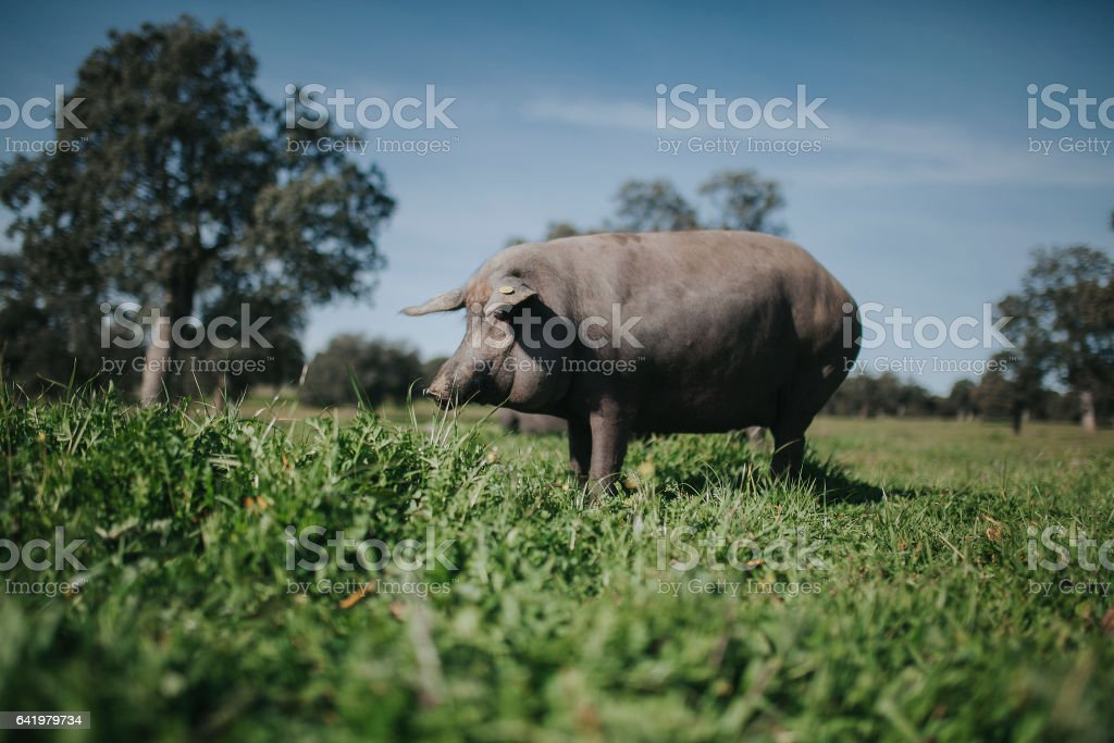 Iberian pig in a green Spanish countryside. stock photo