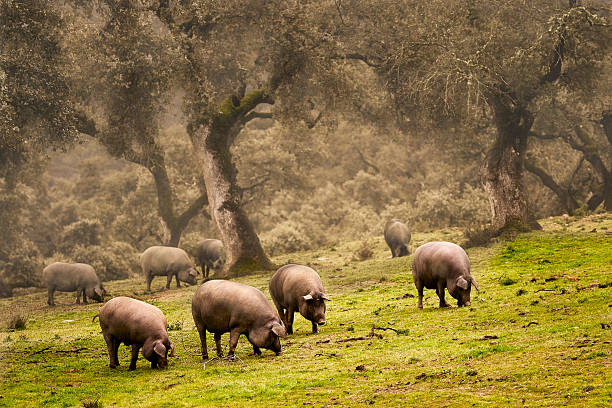Iberian pig in the meadow Iberian pig in the meadow iberian stock pictures, royalty-free photos & images